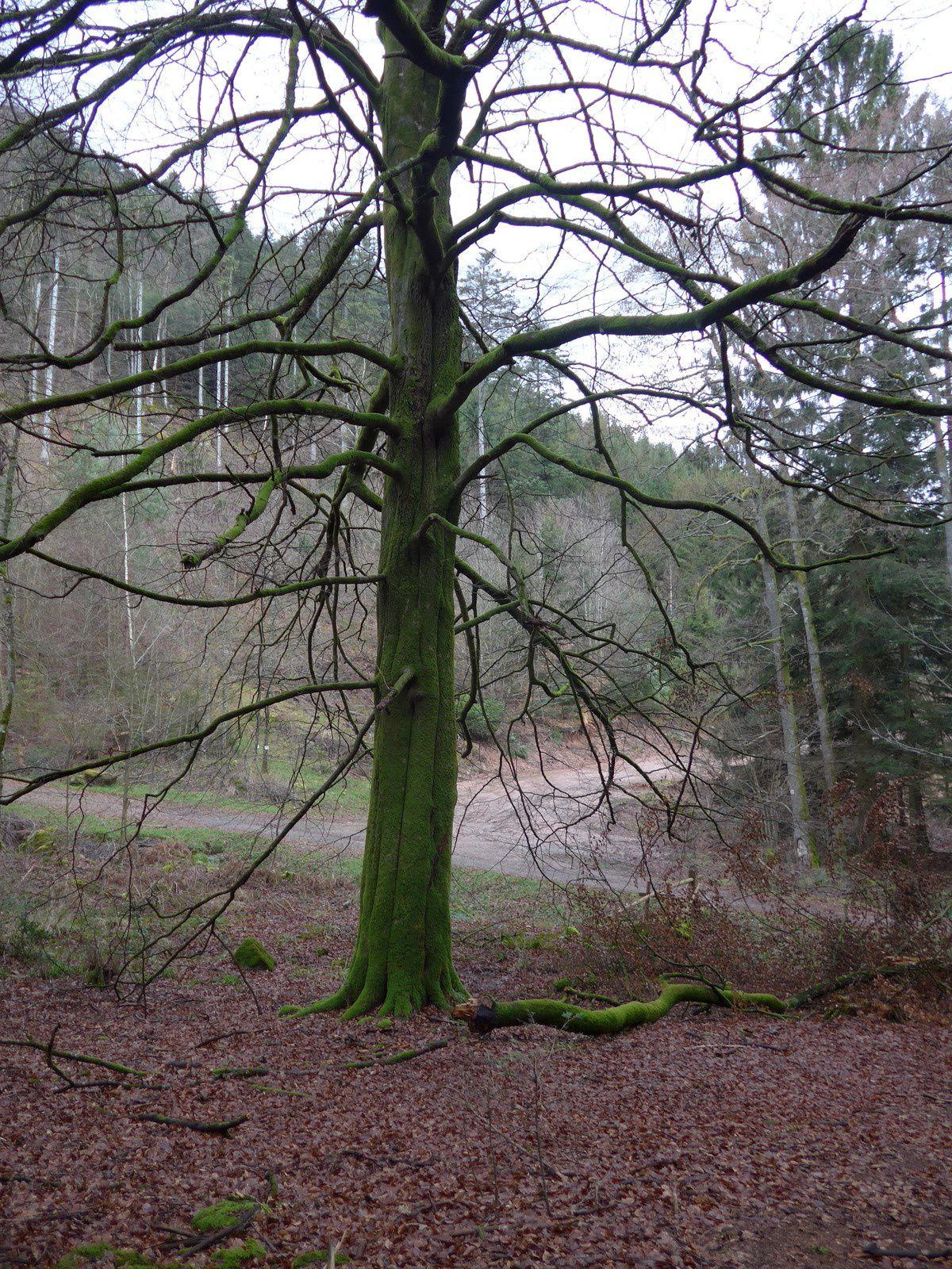 Grendelbruch le purpurkopf - Mousse sur les arbres ...