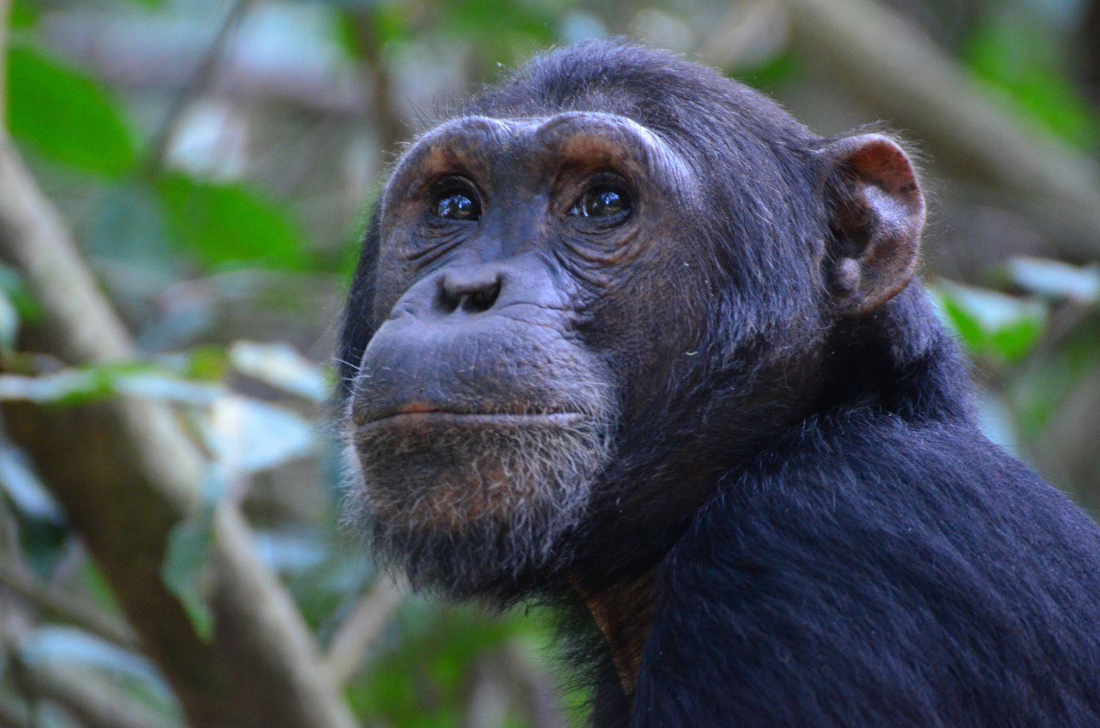 20/06/2013 - Rencontre avec nos cousins les chimpanzés
