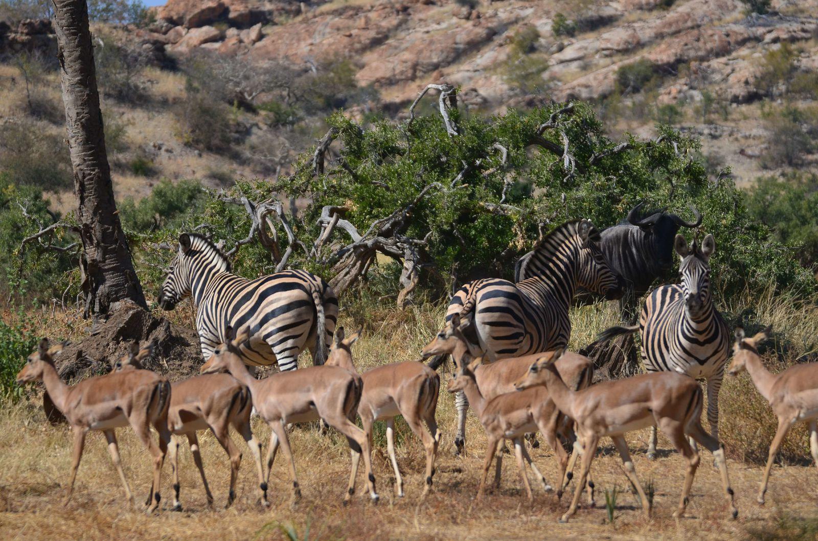 Safari en Afrique du Sud - du 04/07 au 24/07