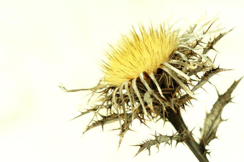 Soleil végétal (carline)