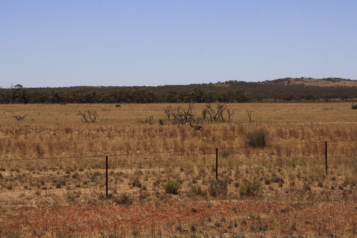Les autruches sur la route
