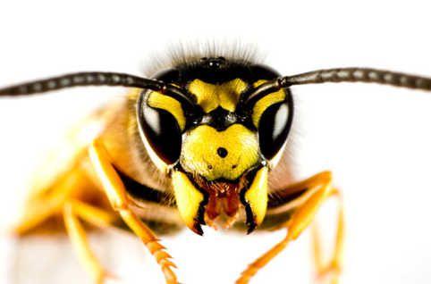 ob_3e0f15_guepe-abeille-mag-banner-jpg.jpeg