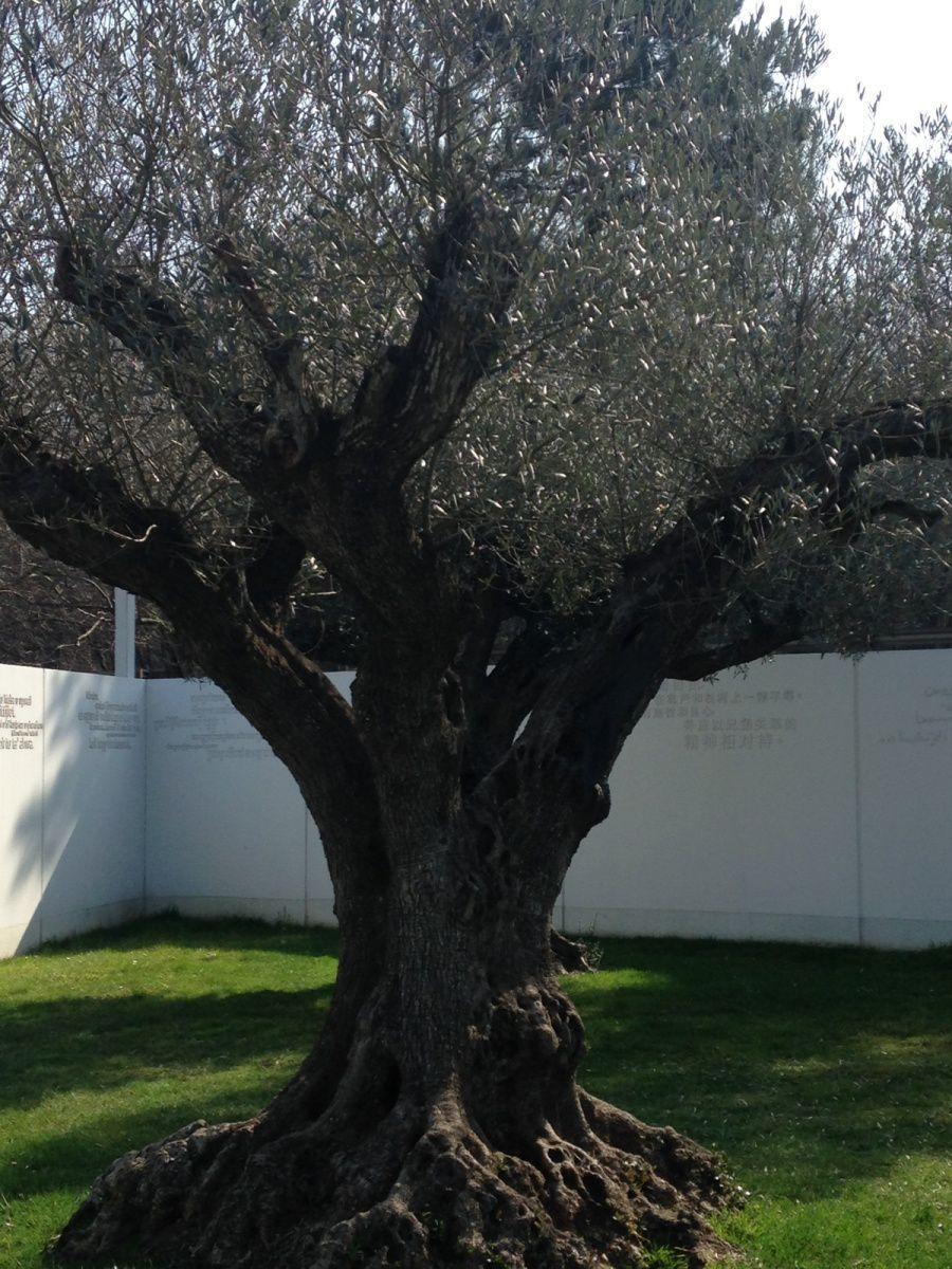 planter un olivier vivre ensemble a la. Black Bedroom Furniture Sets. Home Design Ideas