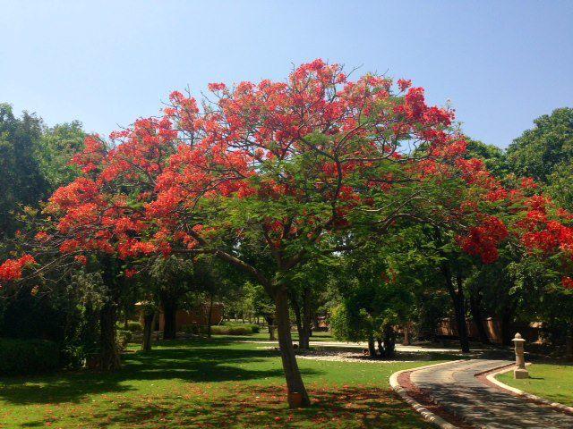 Le flamboyant (delonix regia) est un arbre à fleurs qui nous vient des forêts sèches et claires de Madagascar. Il a été découvert en 1824 et il est de la famille des caesalpiniacées. Il est aussi appelé dans certaines régions du monde fleur de paradis, poinciana regia ou flame tree.
