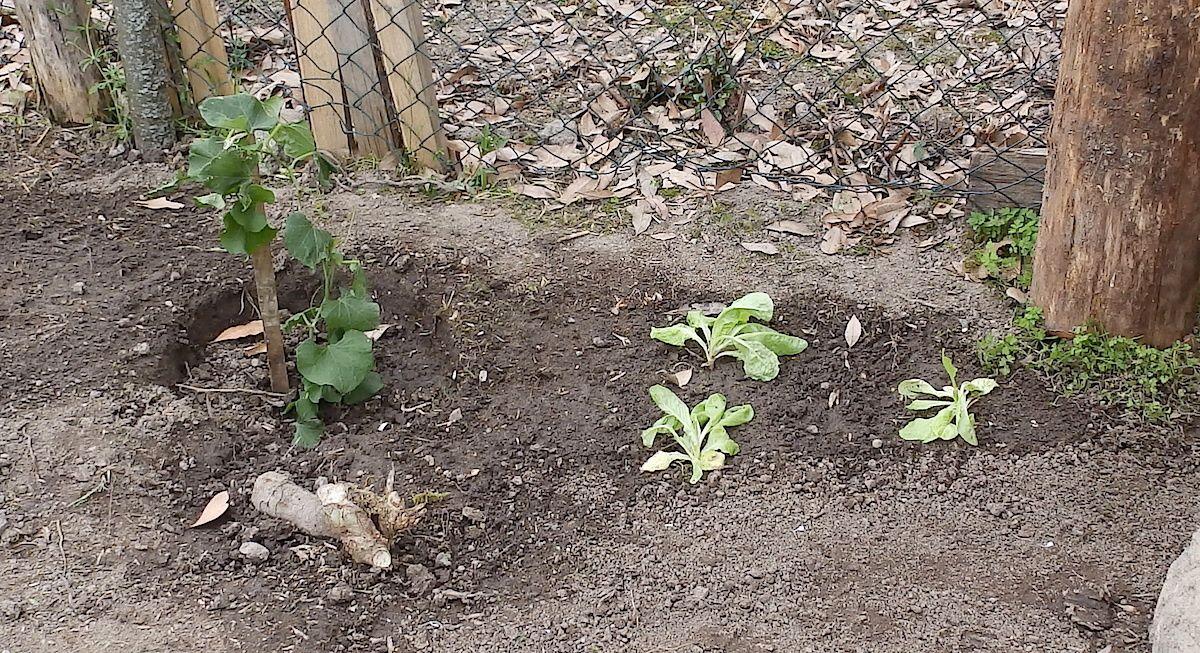 Et à côté d'elle, j'ai repiqué 3 salades, rescapées du débroussaillage du petit jardin où je les avais semées l'an dernier. Elles tiendront, ou pas, mais je n'ai pas eu le cœur de les jeter au composteur avec le reste des herbes.