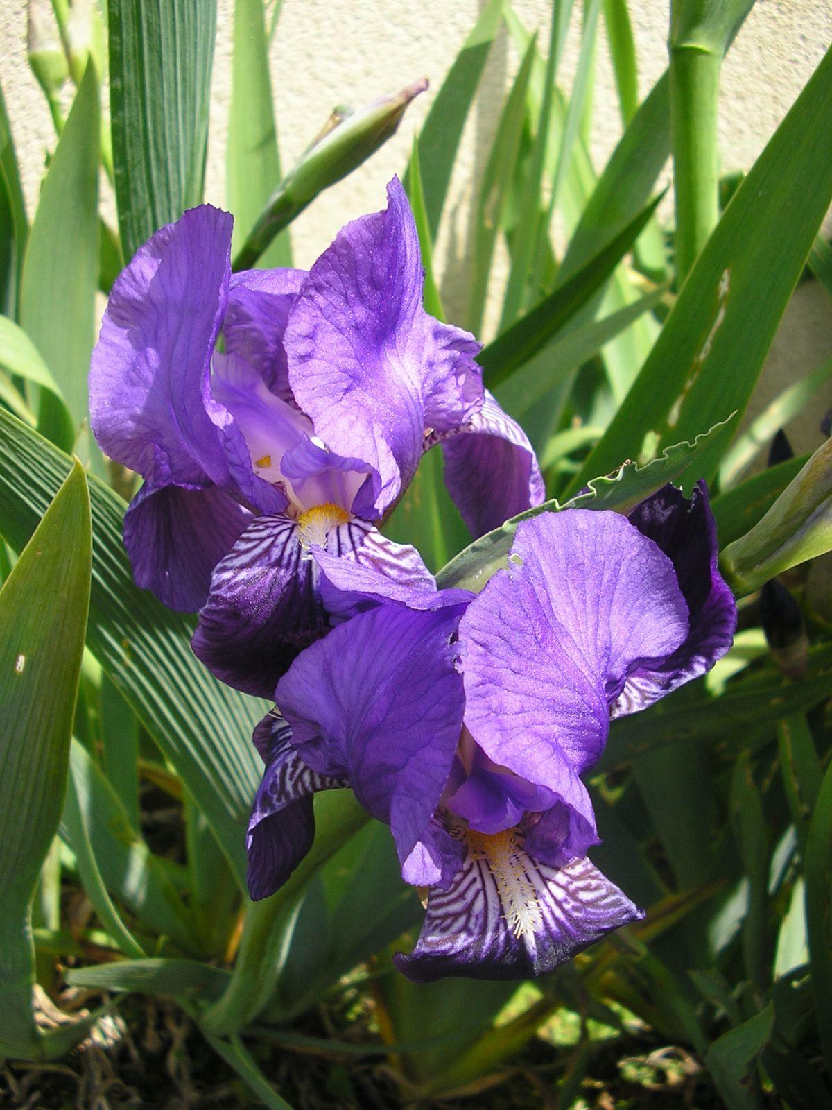 Les iris: été 2012