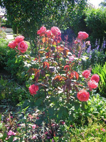 Les rosiers