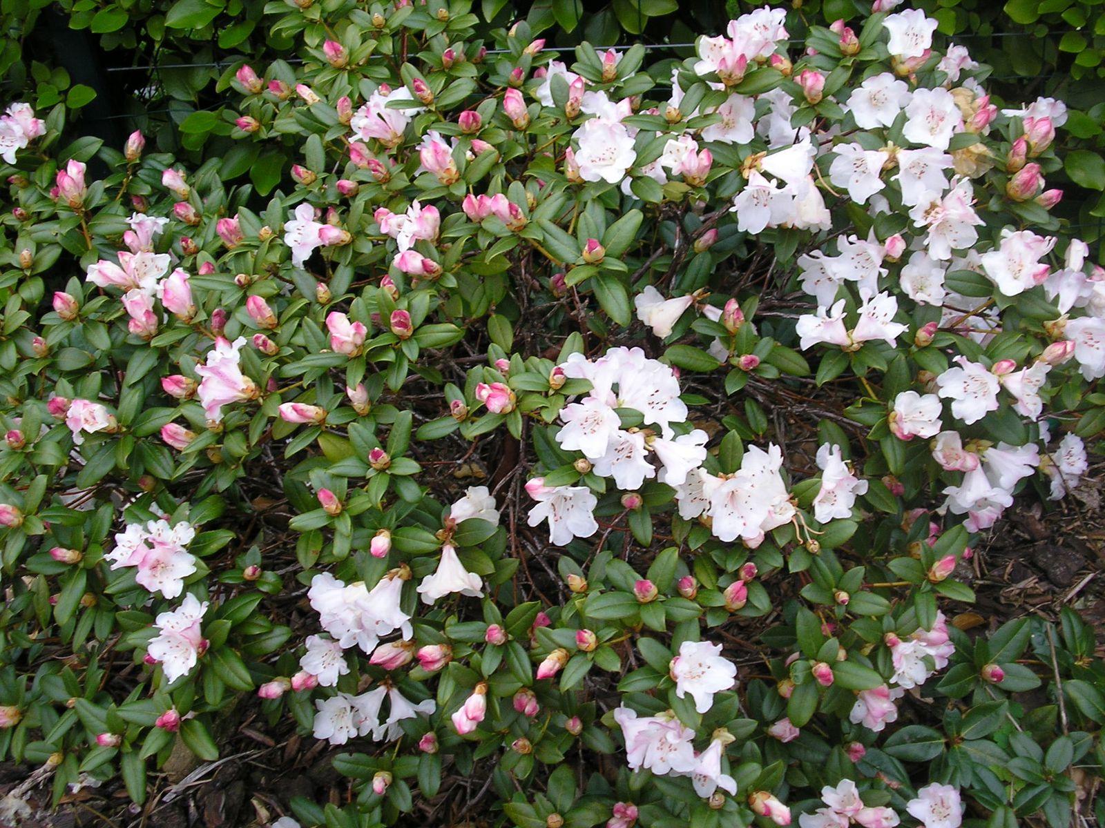 FEVRIER 2013 : les premières fleurs d'azalées