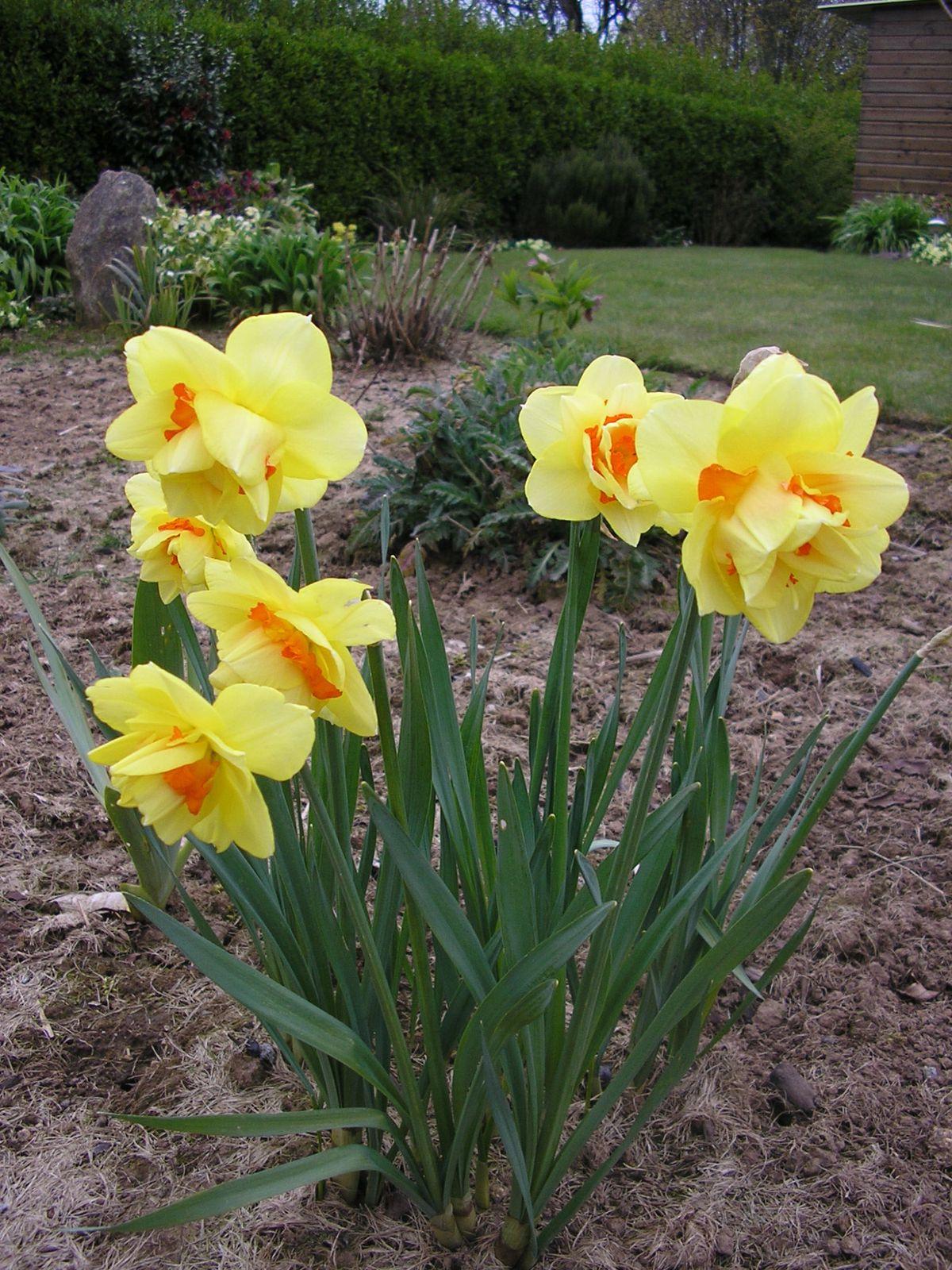 Des primevères, des muscaris, des tulipes et des narcisses: heureusement qu'ils sont là pour nous rappeler que c'est le printemps!