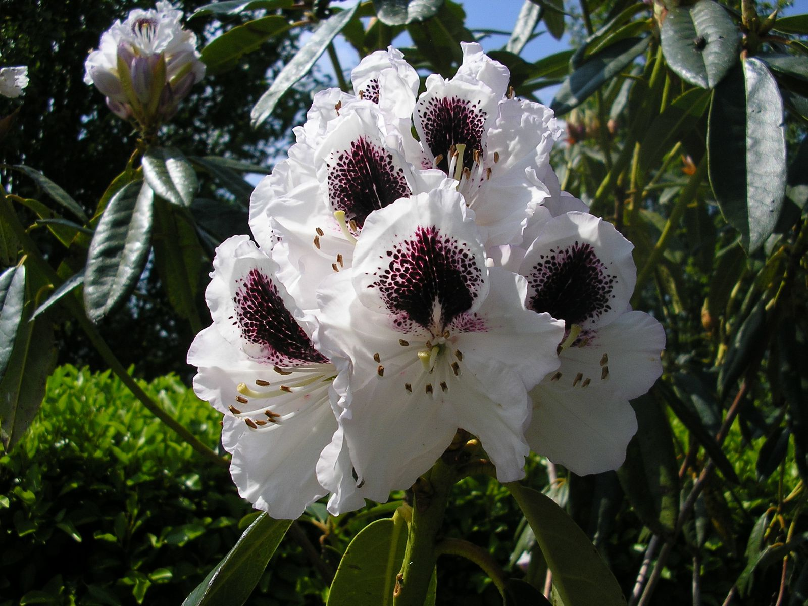 """le rhododendron """"sappho"""""""