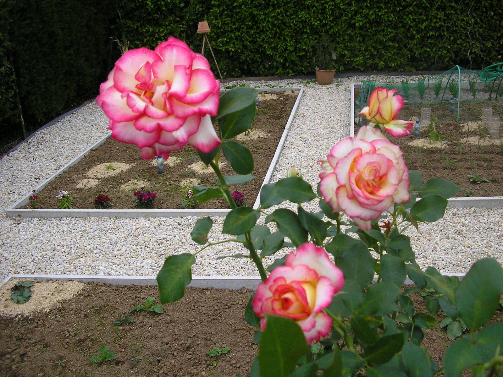 """Les trois rosiers achetés à la foire aux plantes de Ploudalmézeau: """"xaros"""", """"blue eden"""" et """"Léo Ferré"""""""