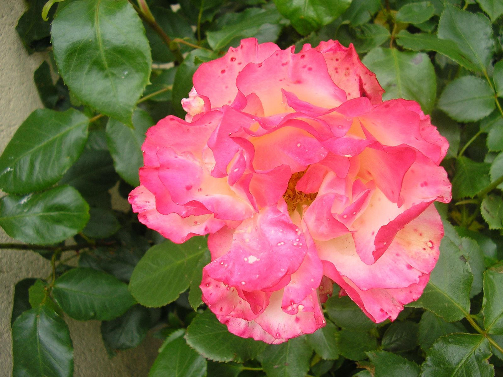 "le rosier ""carmagnol"""