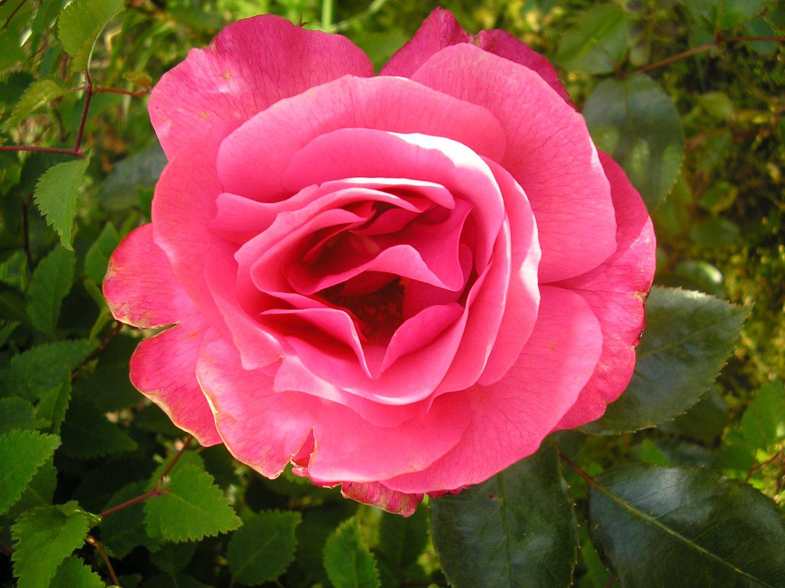 Bouture du rosier à Caroline