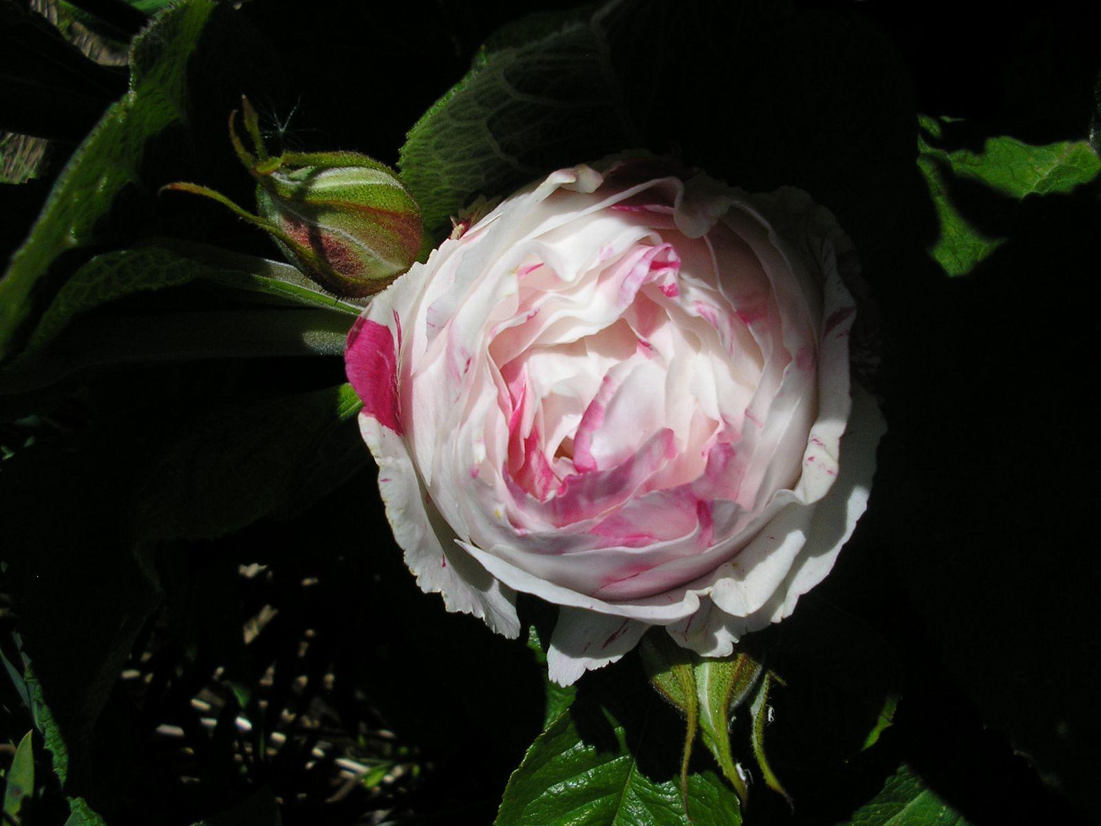 Un rosier inconnu