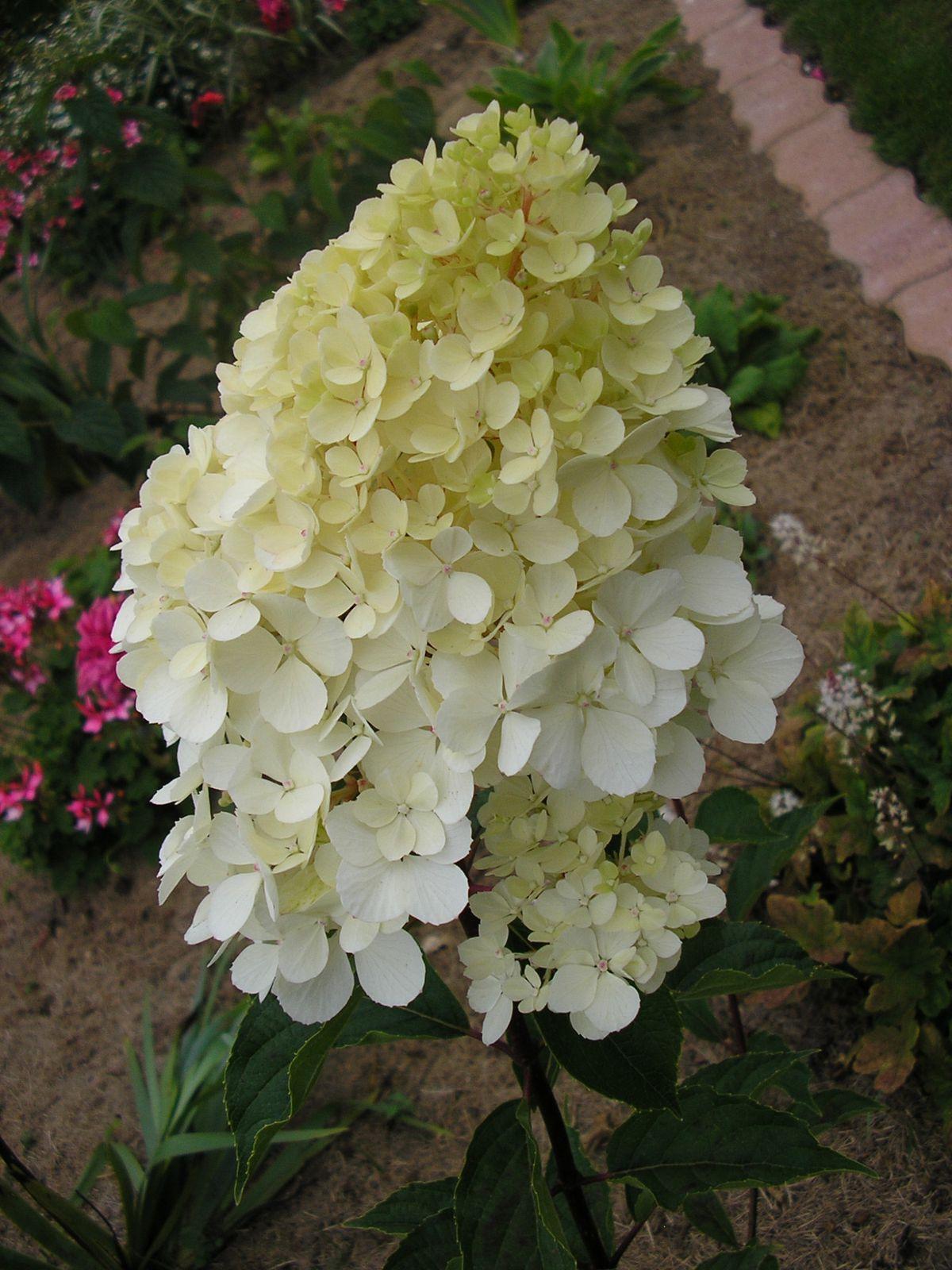 l'hortensia vanille-fraise