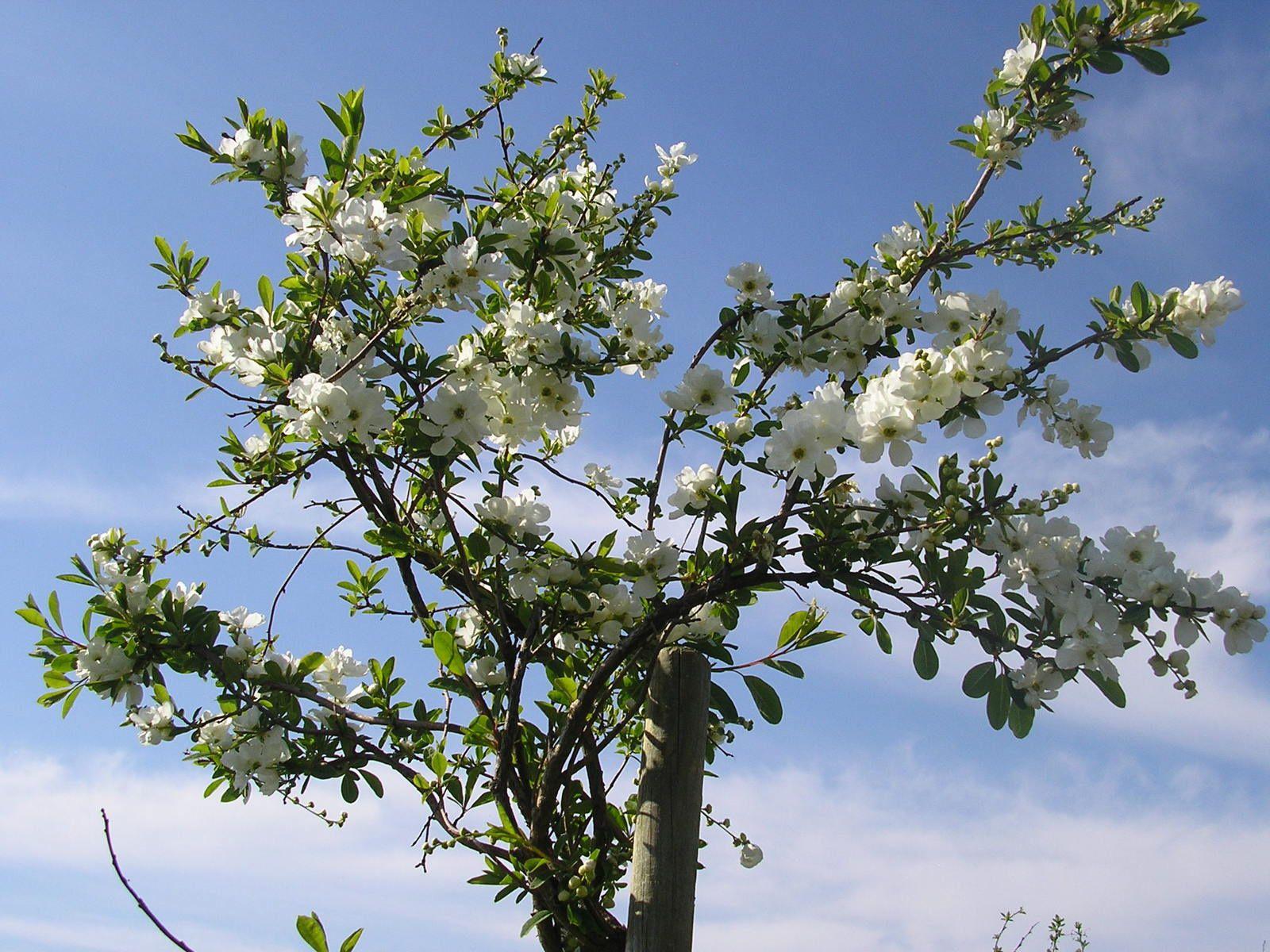Un exocorda taillé en arbre