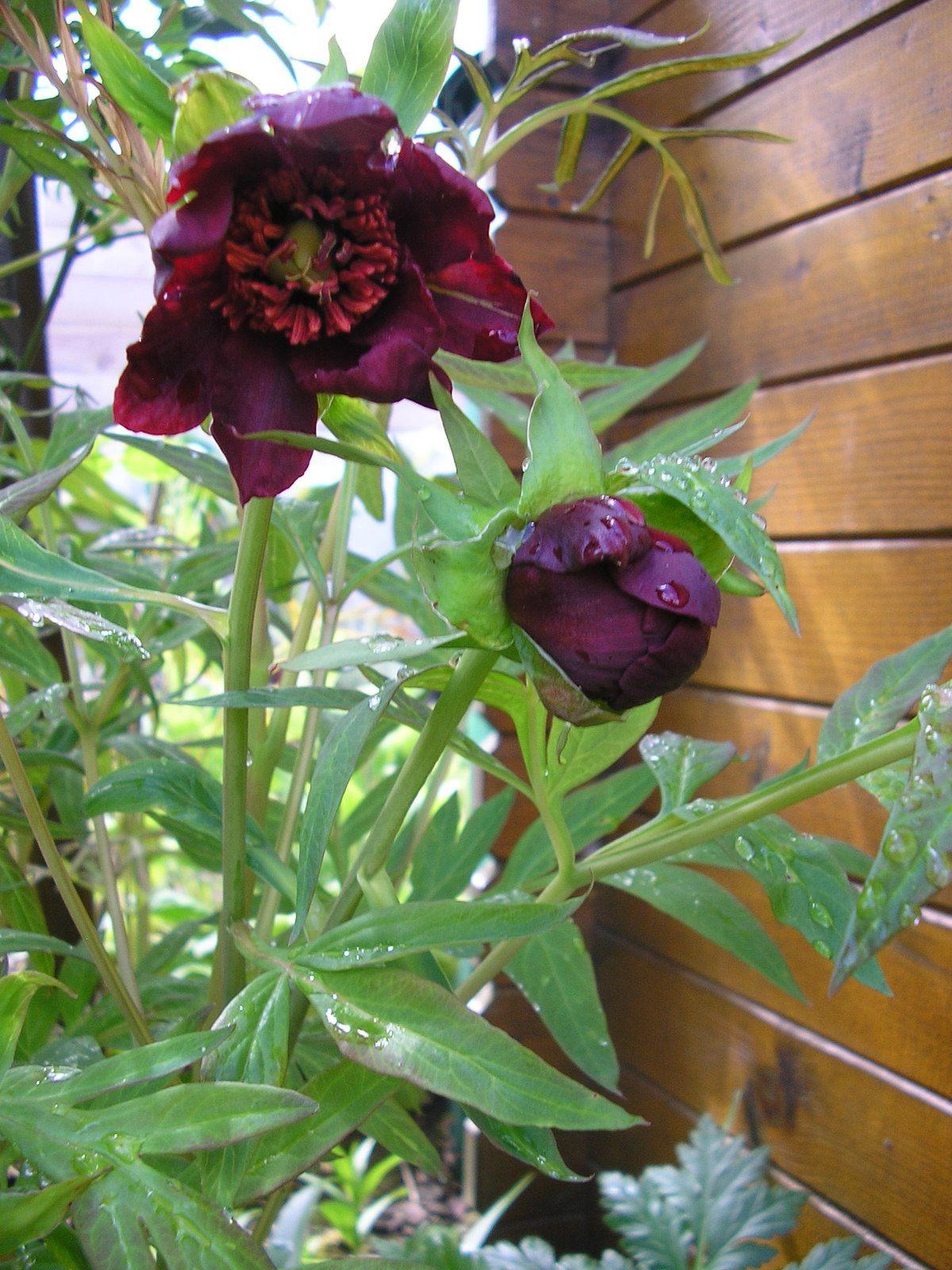Dans le jardin, la pivoine arbustive commence à fleurir.