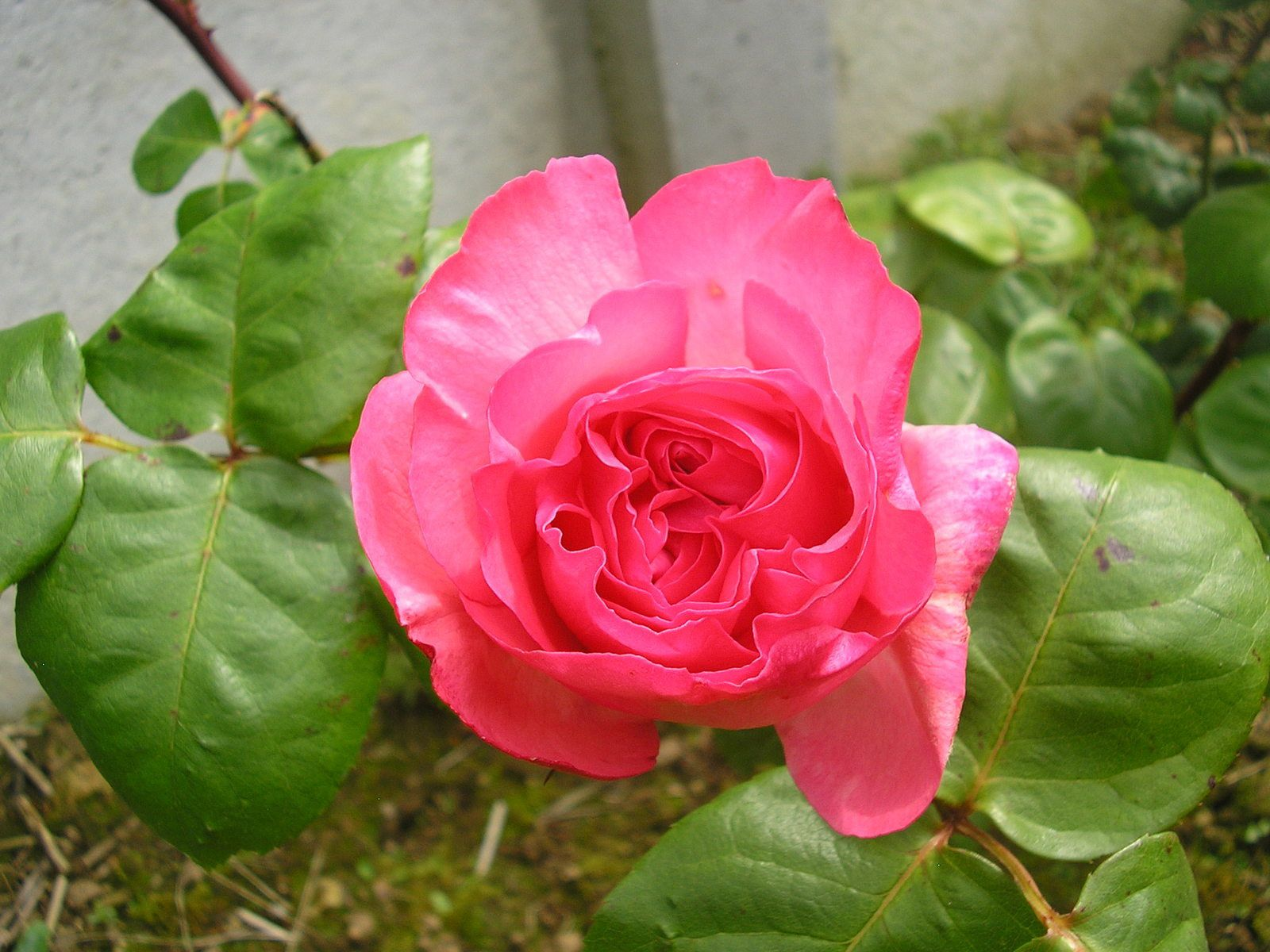 Le rosier ''panthère rose''
