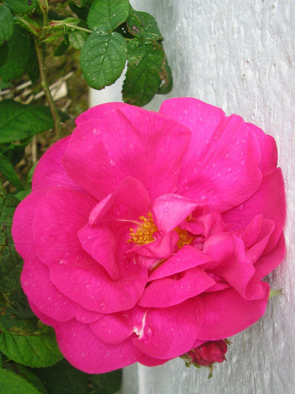 """Le rosier """"versicolor"""""""