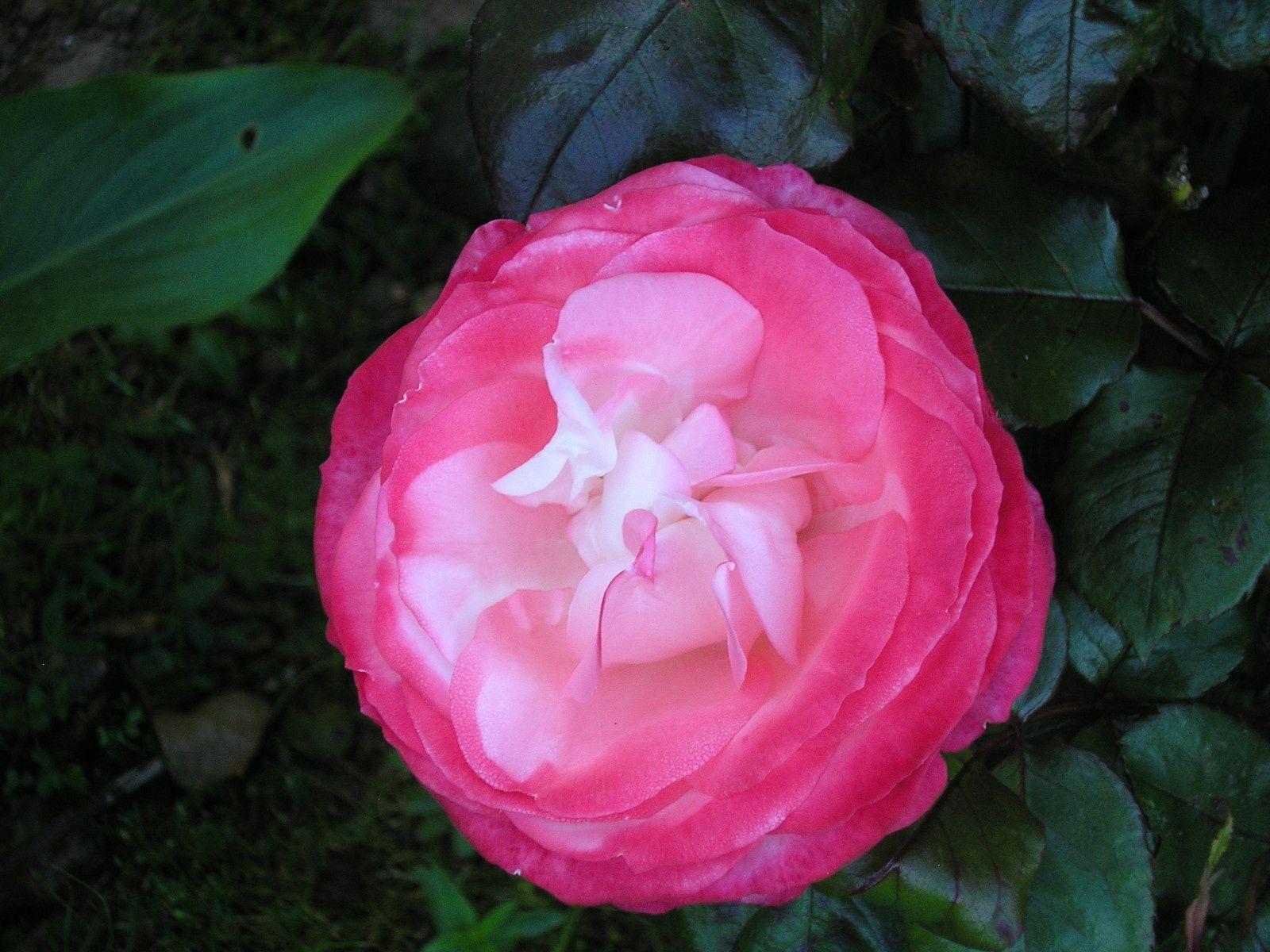 """Le rosier """"la garçonne"""""""