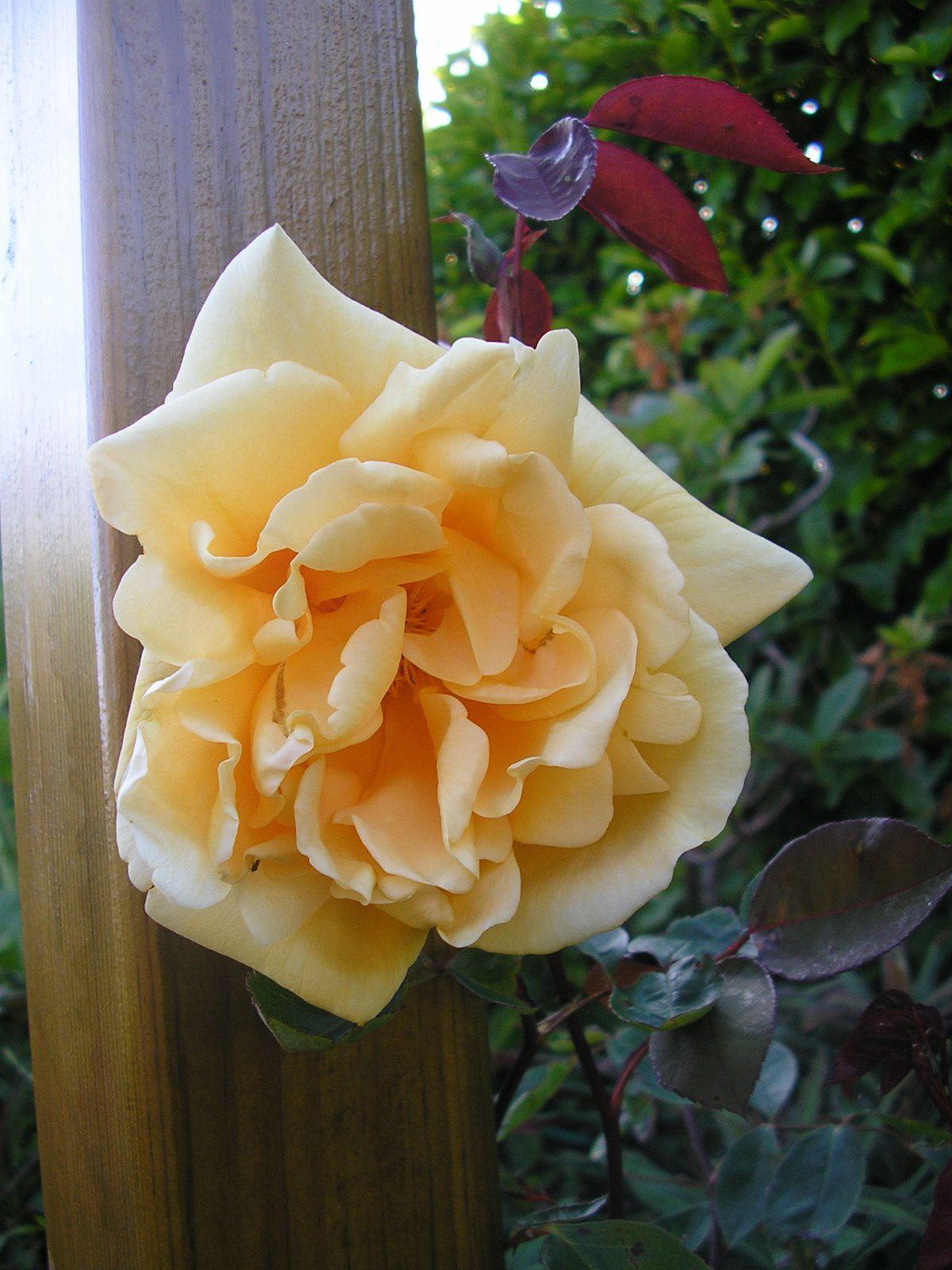 Le rosier Lady Hillingdon  (Merci Jacques et Monique!)