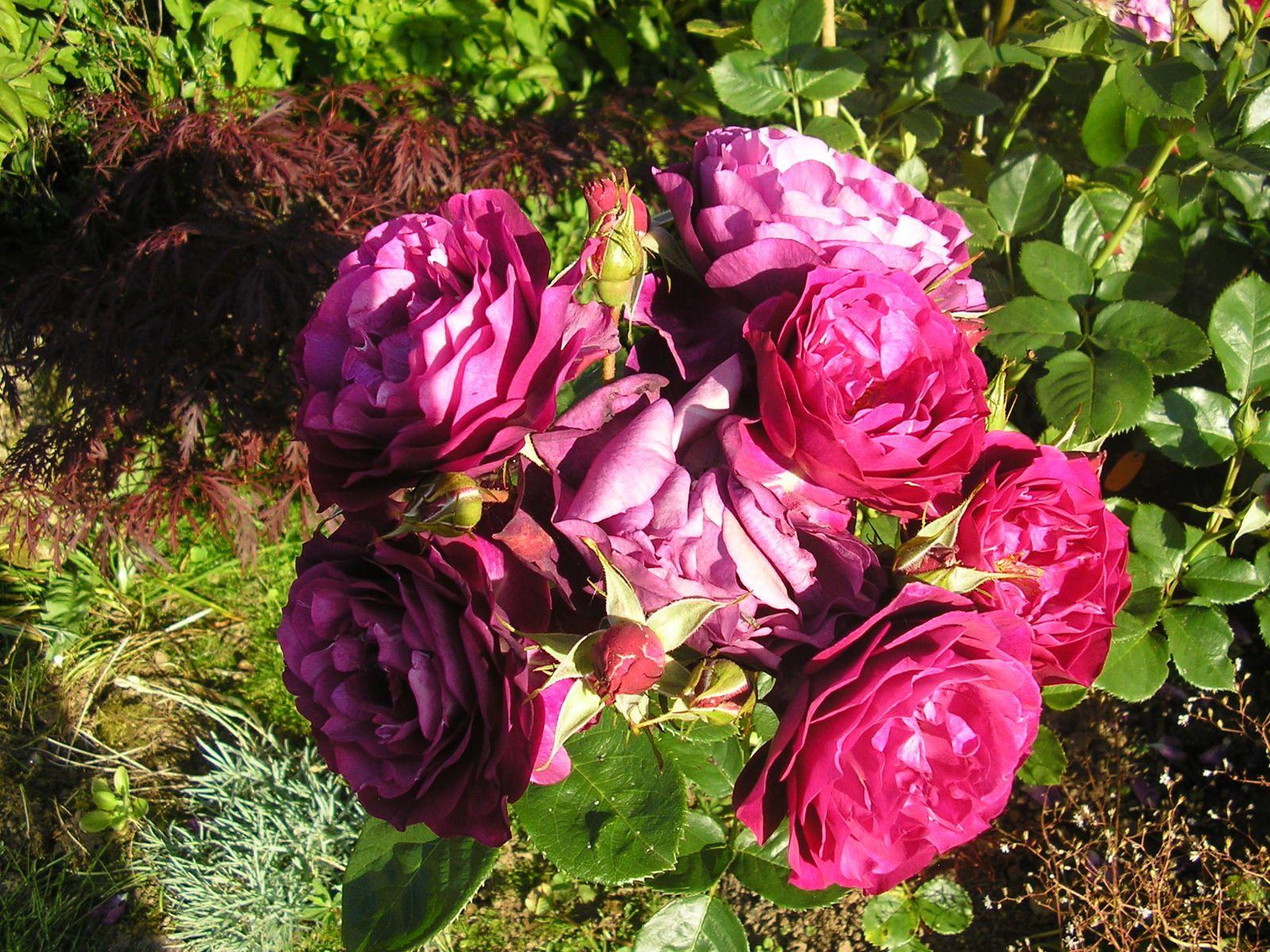"Le rosier ""blue eden"""