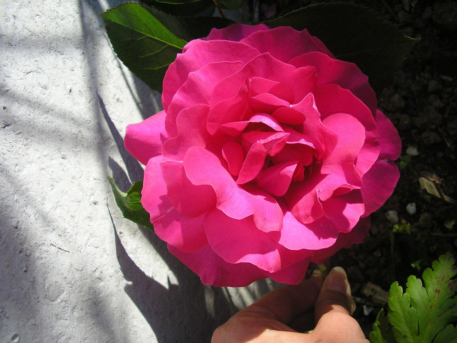 Le rosier à Caro