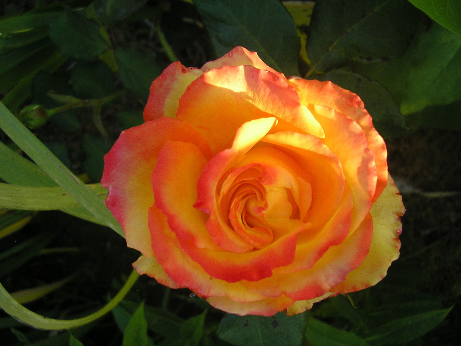 "Le rosier ""téquila sunrise"""