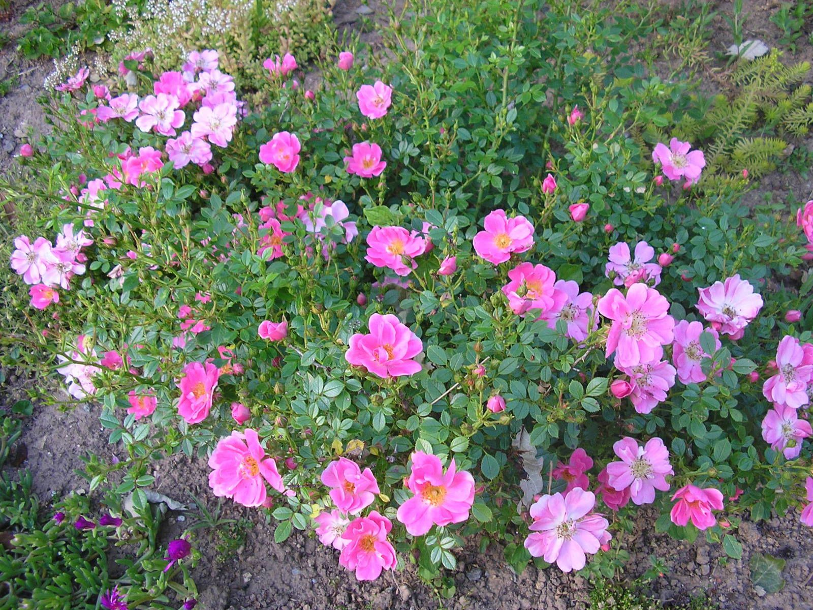 "Rosier ""églantia pink pins"""