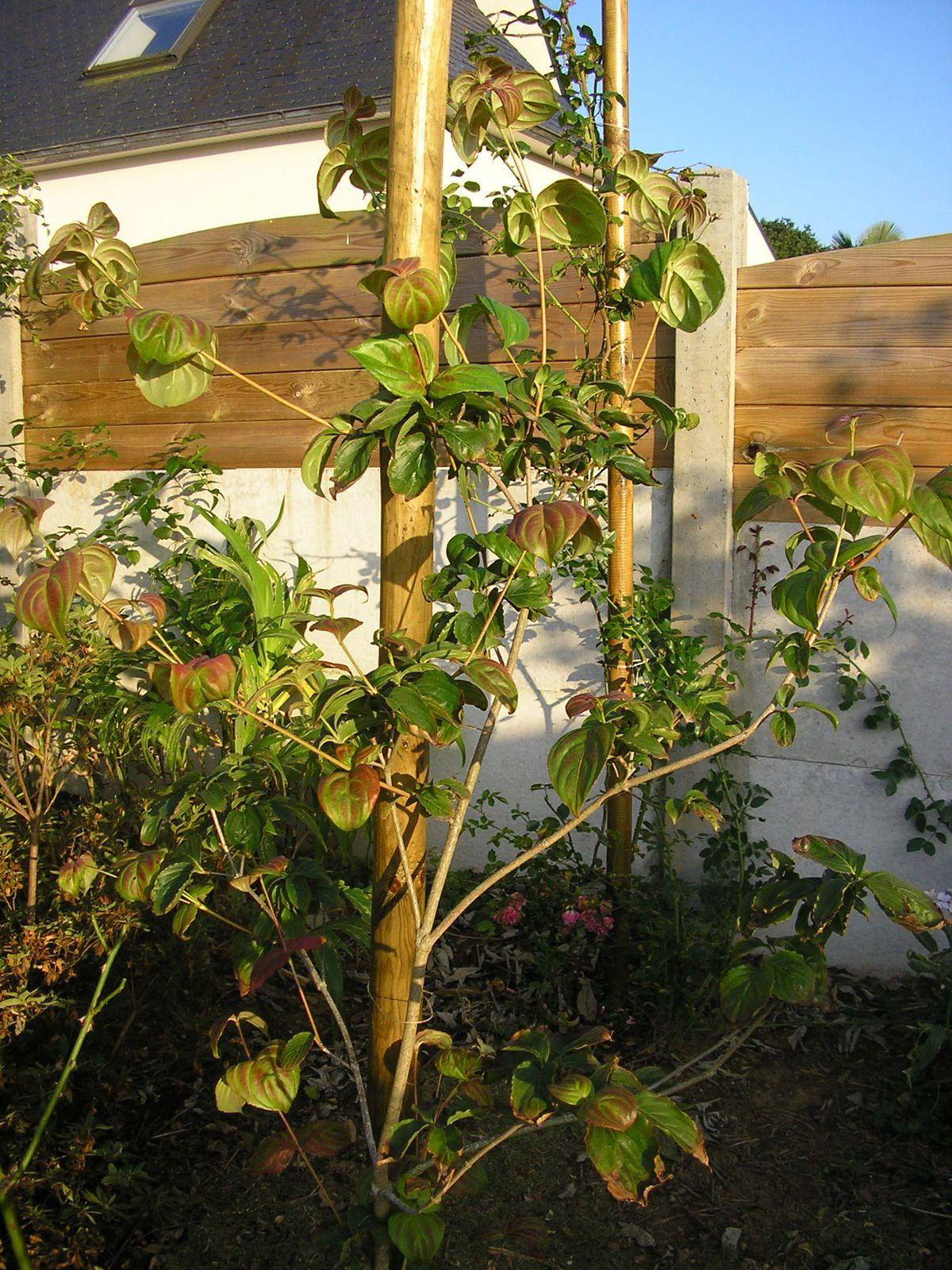 Le cornus kousa satumi  (fleurs roses au printemps et feuillage rouge en automne)