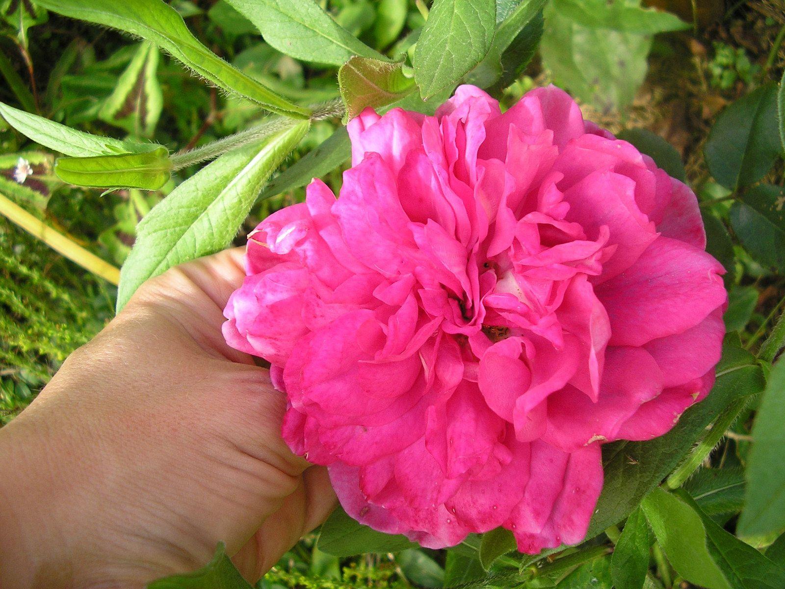 """Le rosier """"Laguna''"""