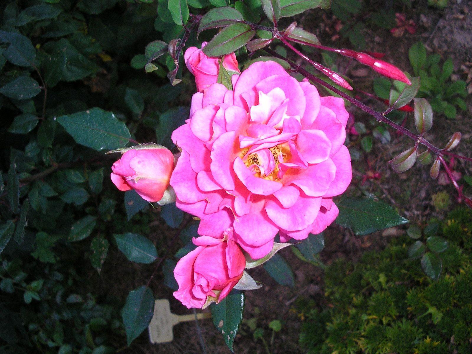 """Le rosier """"gladys"""""""