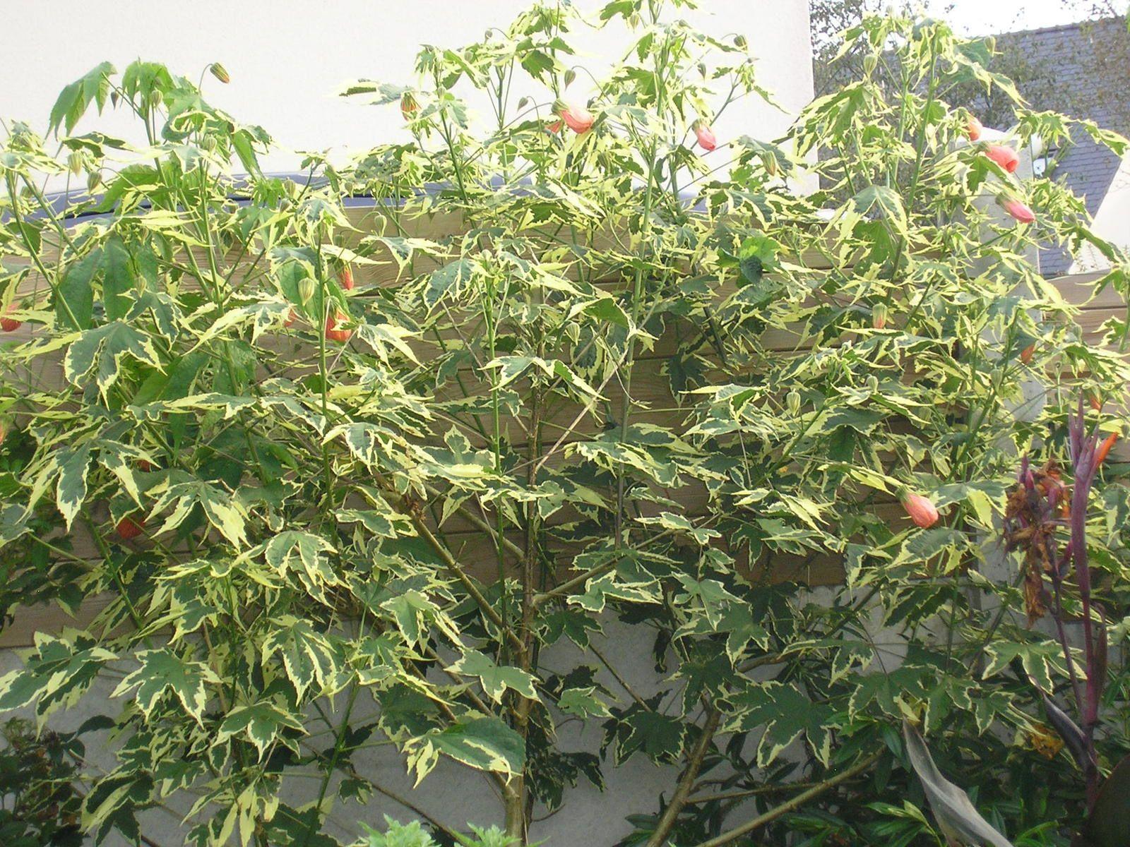 Abutilon panaché