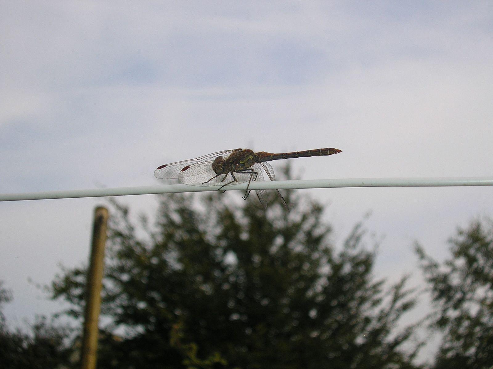 Une belle libellule joue les équilibristes!