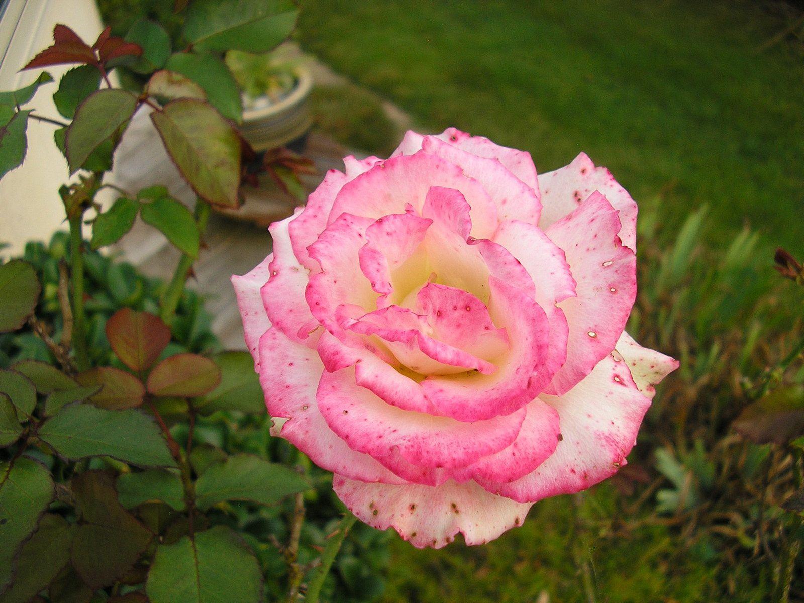 """Le rosier Léo Ferré"""""""