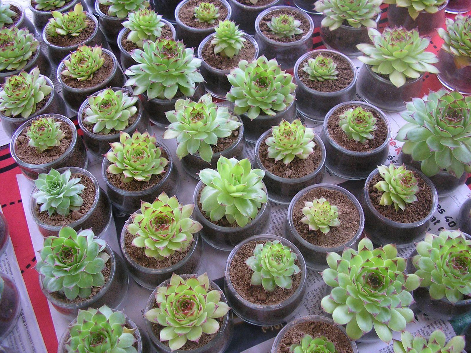 Préparation de plantes grasses