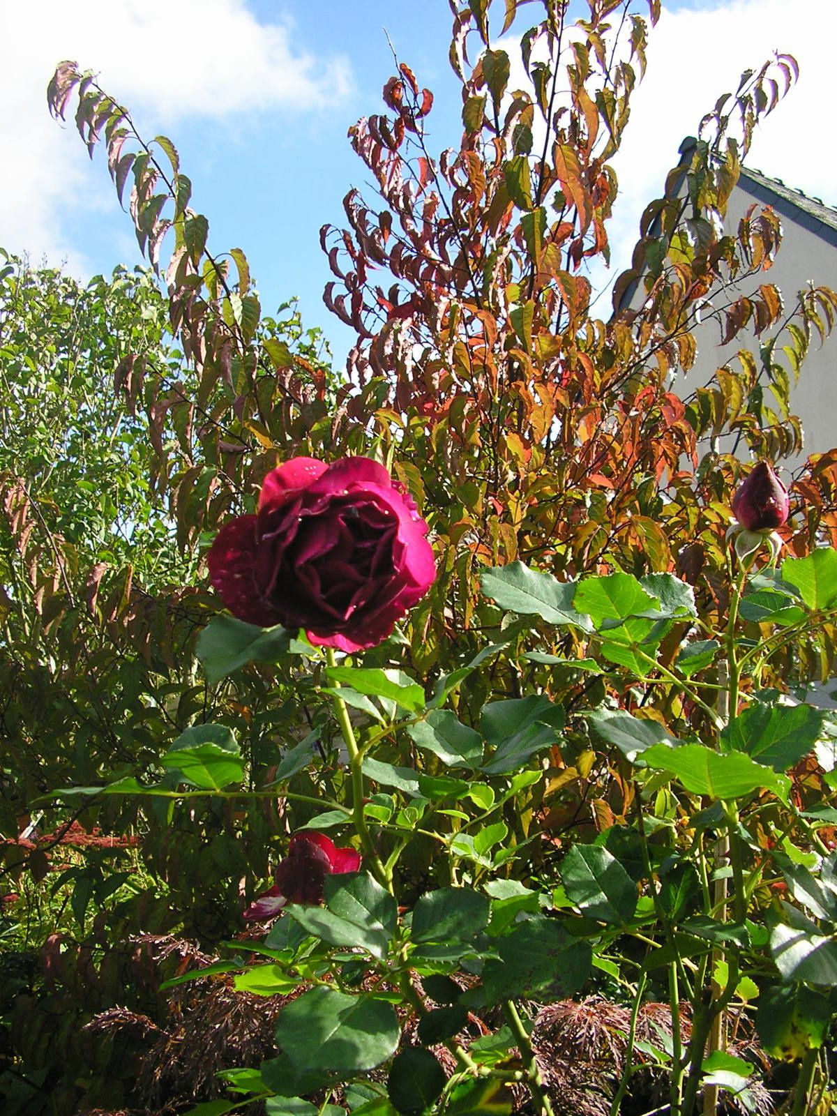 """Le rosier """"blue éden"""""""