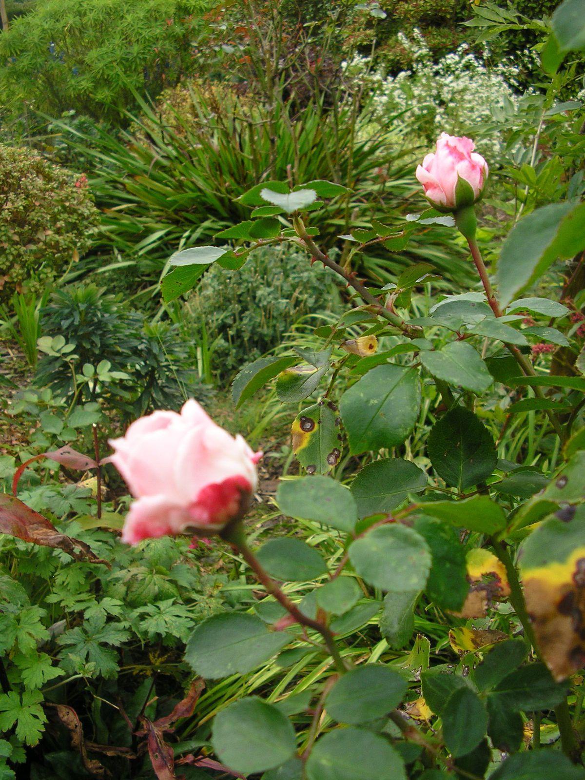 "L e rosier ""Jean Piat"""
