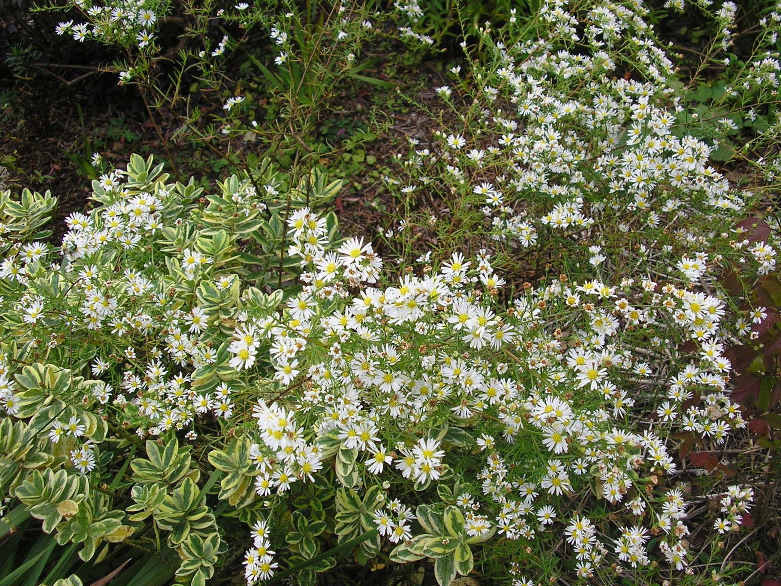 Asters blanches