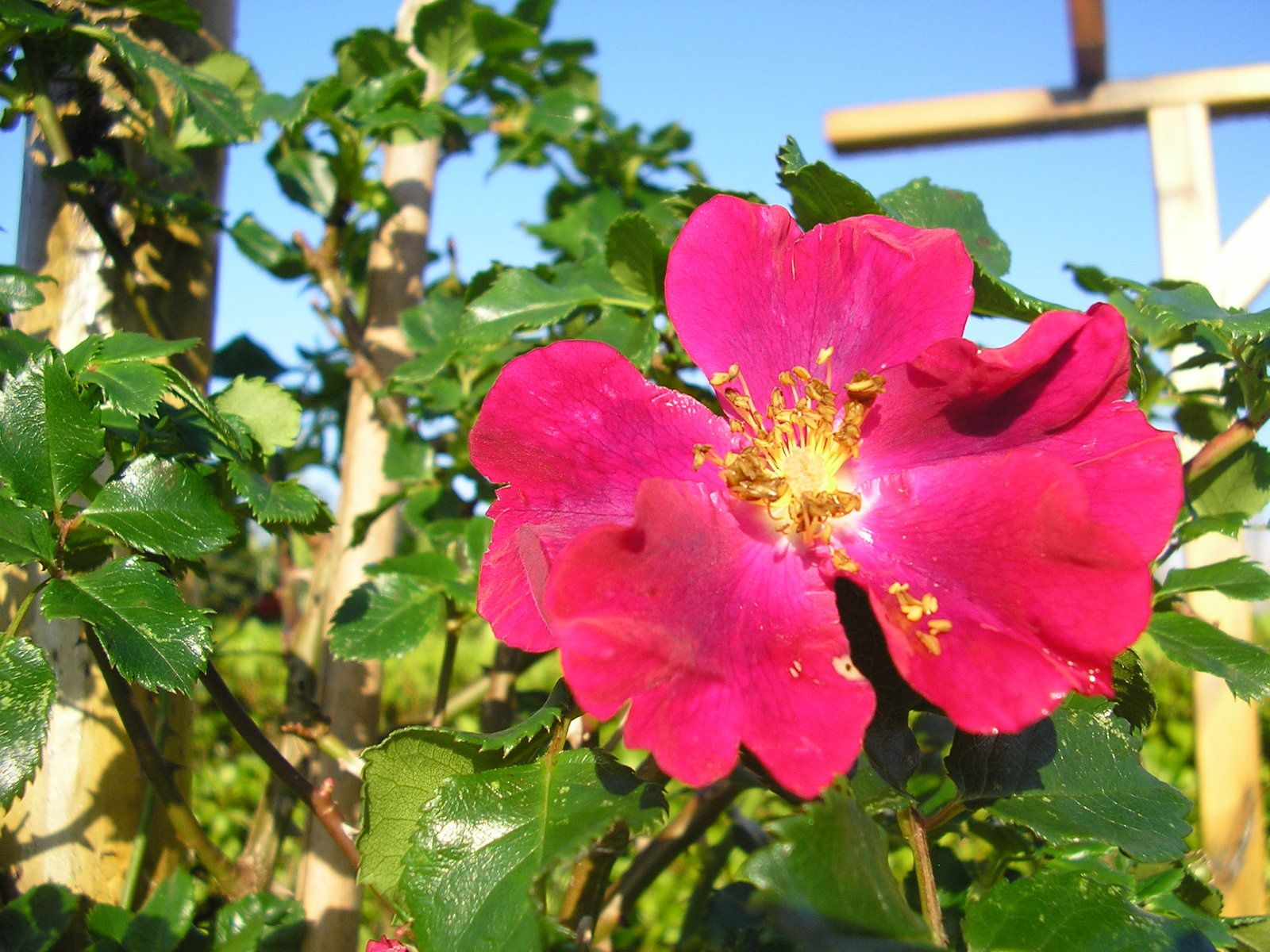 Le rosier xaros