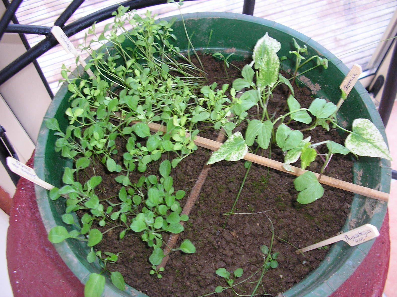Les semis de tomates (cornue des Andes, noire de Crimée, marmande, ananas et tomates cerises), coriandre, basilic...