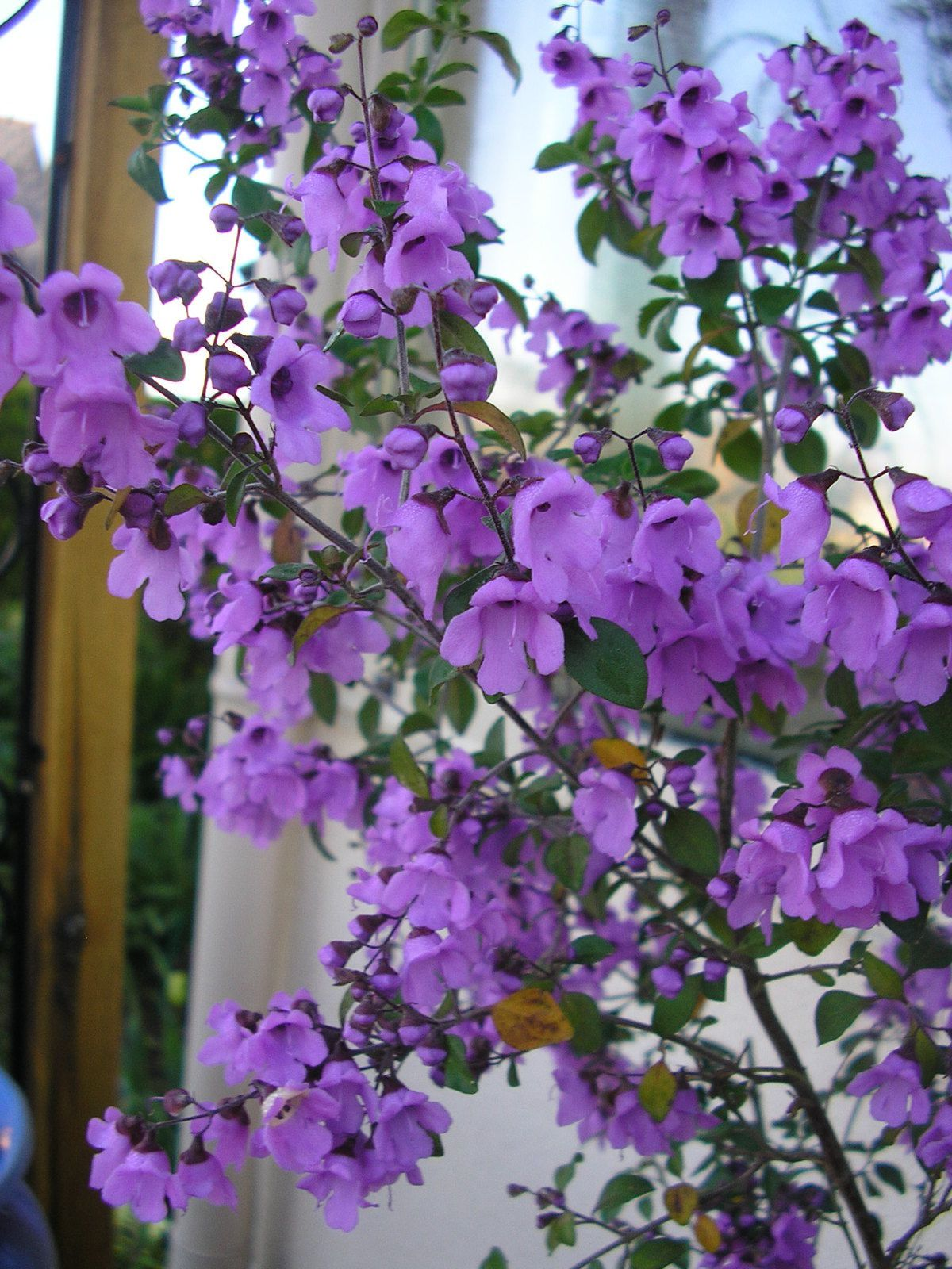 Prostanthera rotundifolia: attention, cette plante craint le froid!