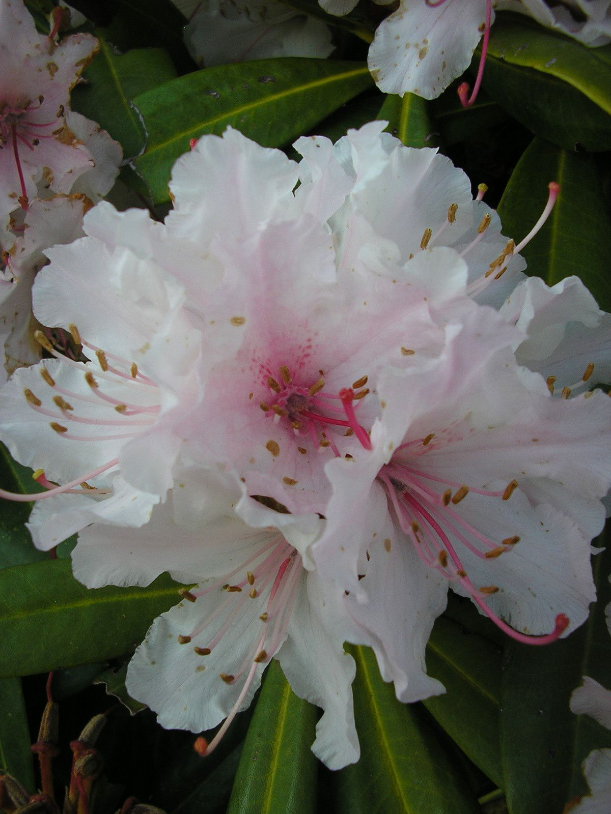Rhododendron Merry Christmas