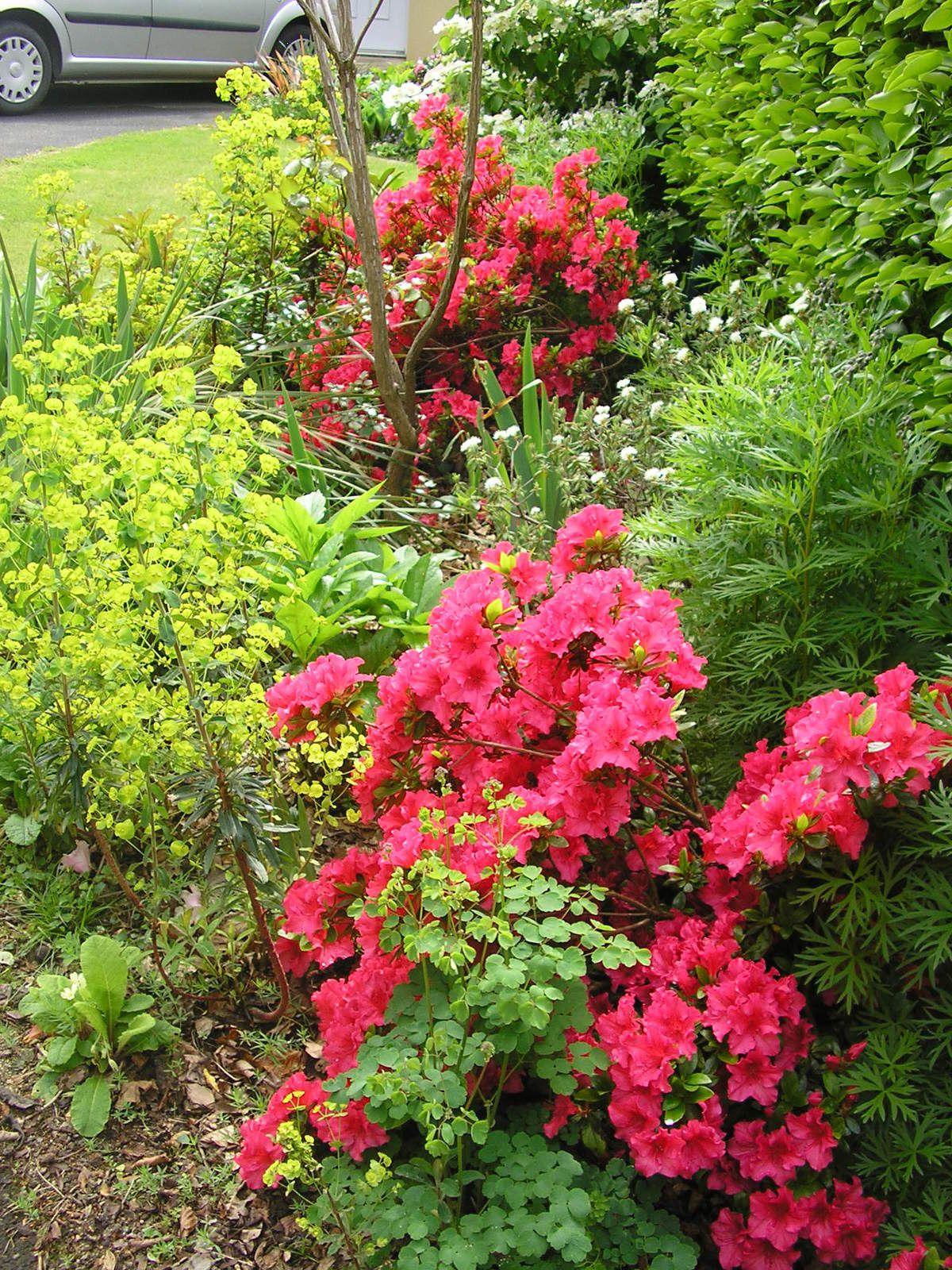 Viburnums plicatum