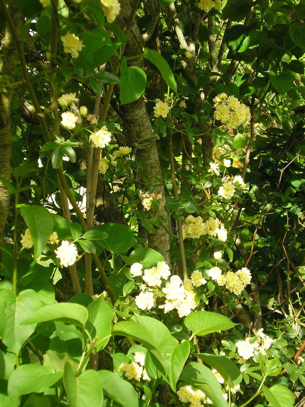 """Le rosier banksiae """"lutéa"""" grimpe dans le lilas"""