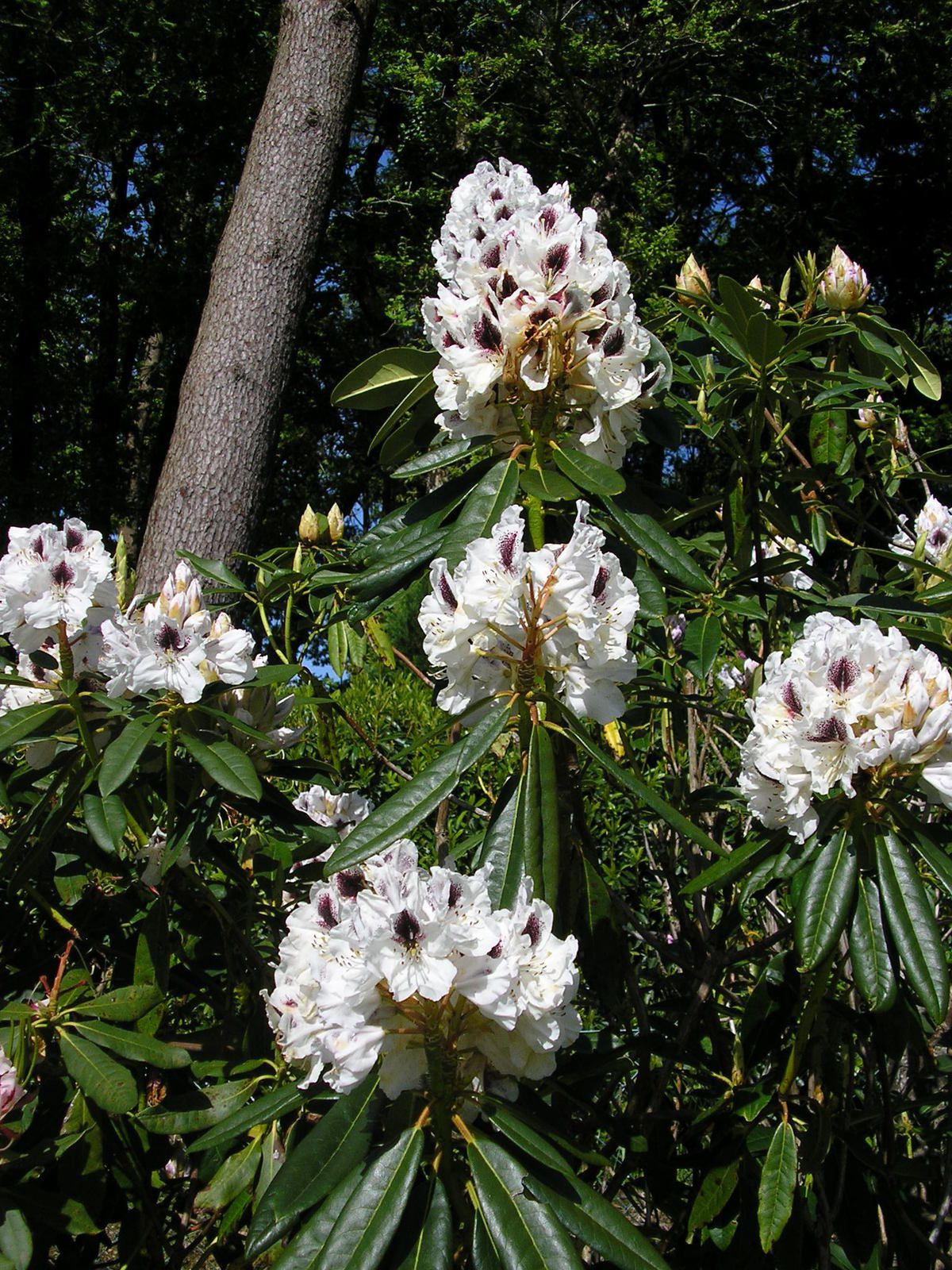 Rhododendron Sapho