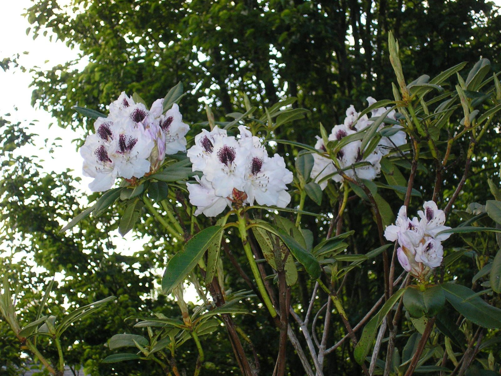 Le rhododendron sapho