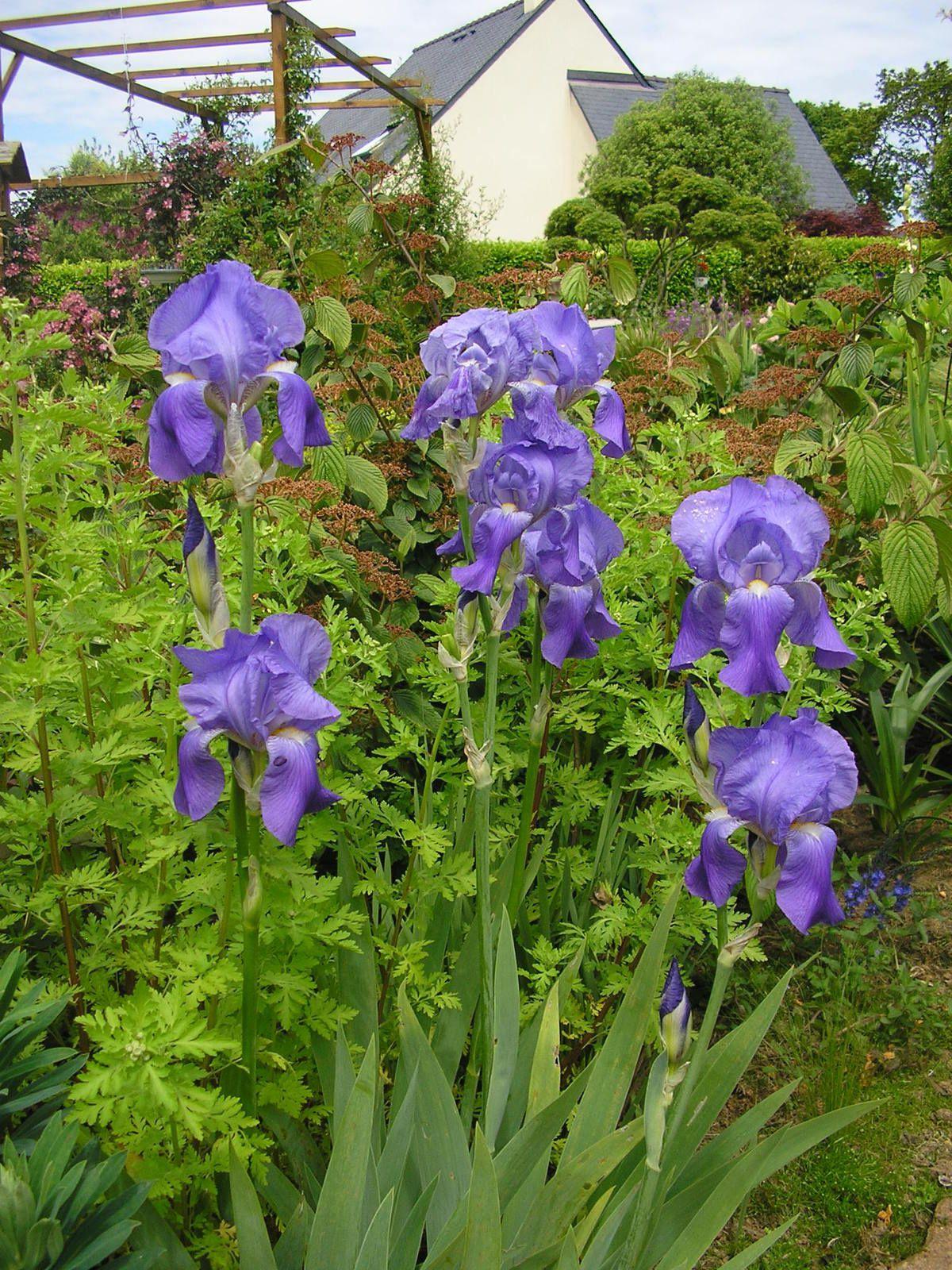 Les iris germaniques