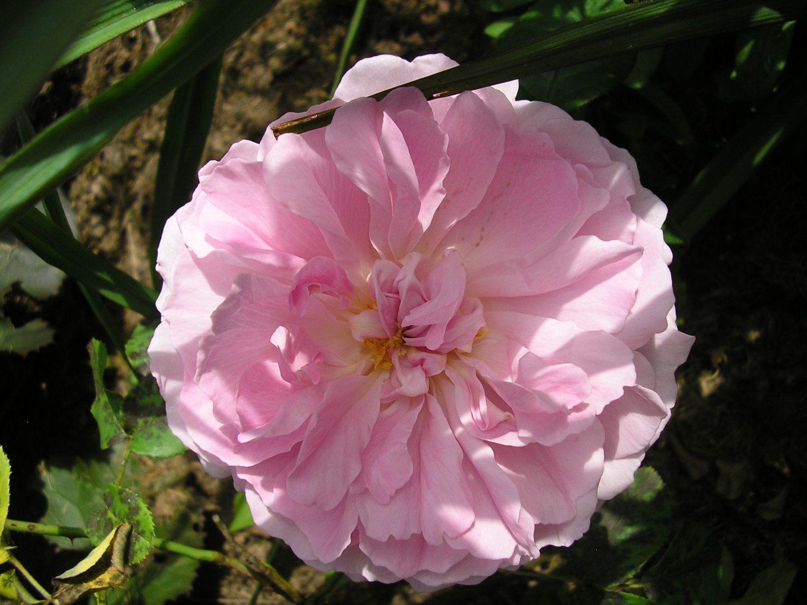 Le rosier Mary Rose (Austin)