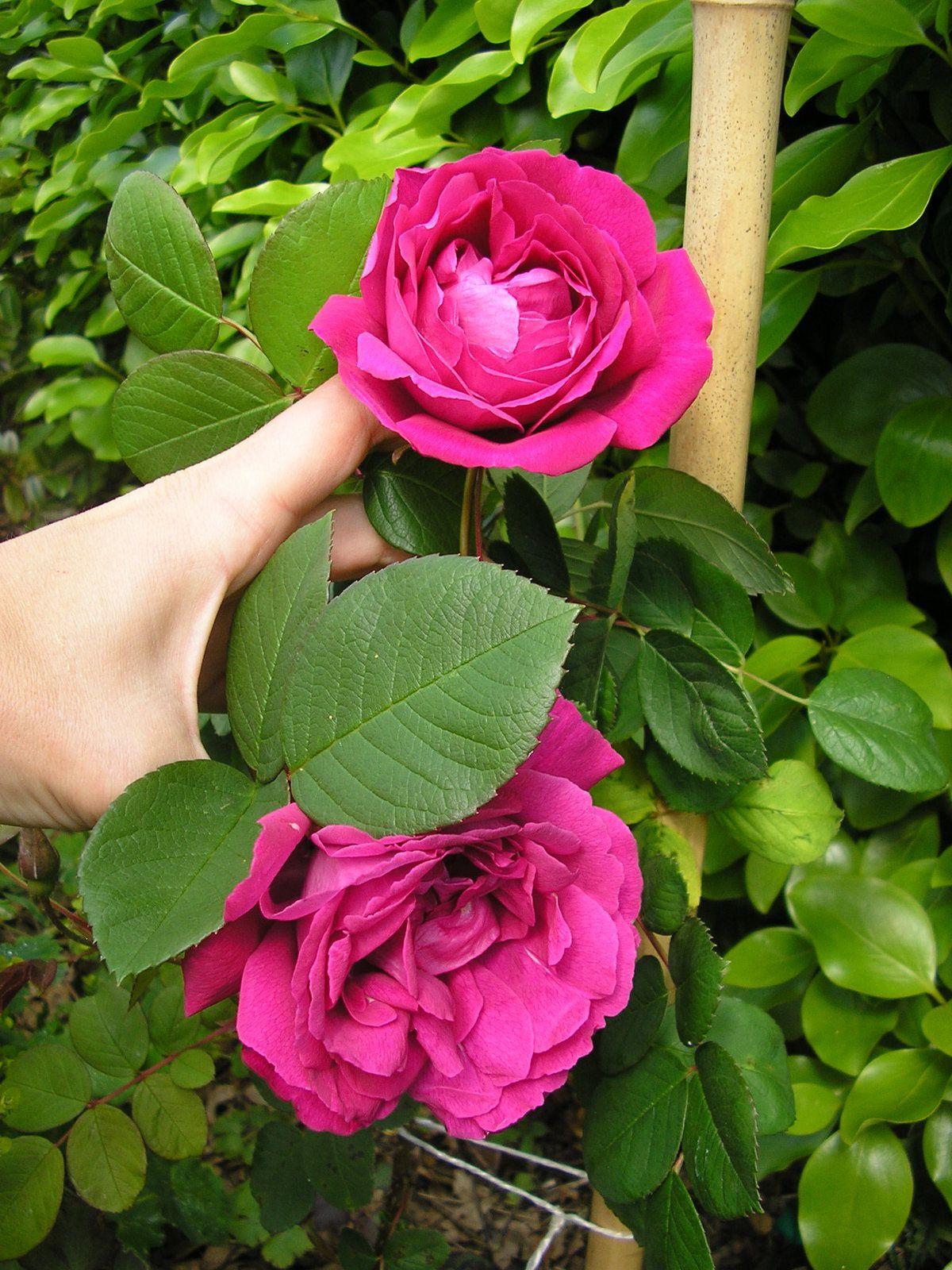 "Le rosier ""parfum de l'Hay"""